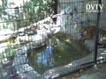 Malayan Tiger at Small Zoo