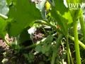 V- grows garden